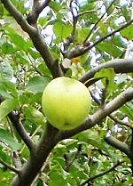 Jablko z nebeského stromu